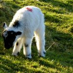 Roads Cottage 11, An Easter Lamb, Rent an Irish Cottage with Sea View along the Wild Atlantic Way in Kerry