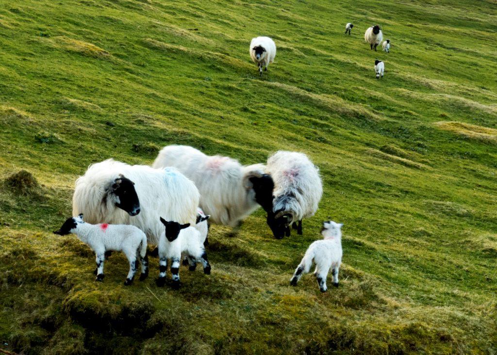 Ferienhaus, Kerry, Irland, Roads Cottage, Schafe hinter dem Haus, Ferienhäuser mit Meerblick mieten in Irland - Cottages mit Seeblick mieten entlang des Ring of Kerry in Irland